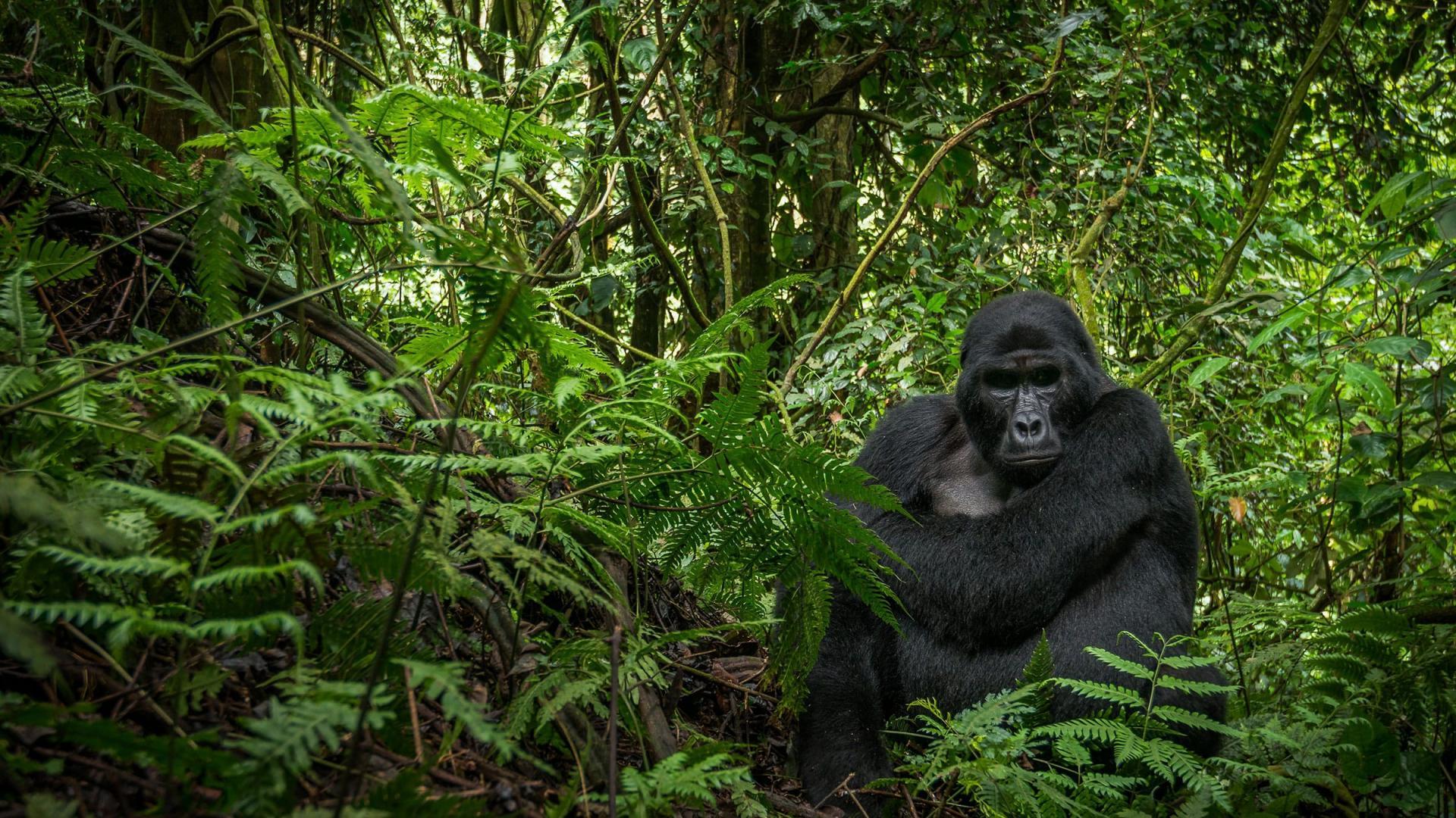 Gorille La 6ème extinction.
